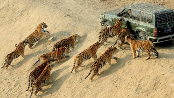 11 tigri siberiane in Cina