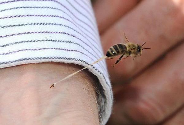 La puntura dell'ape