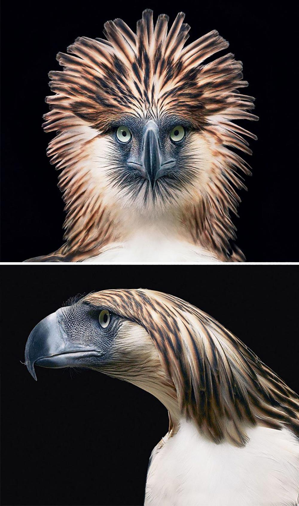 Un'aquila delle Filippine
