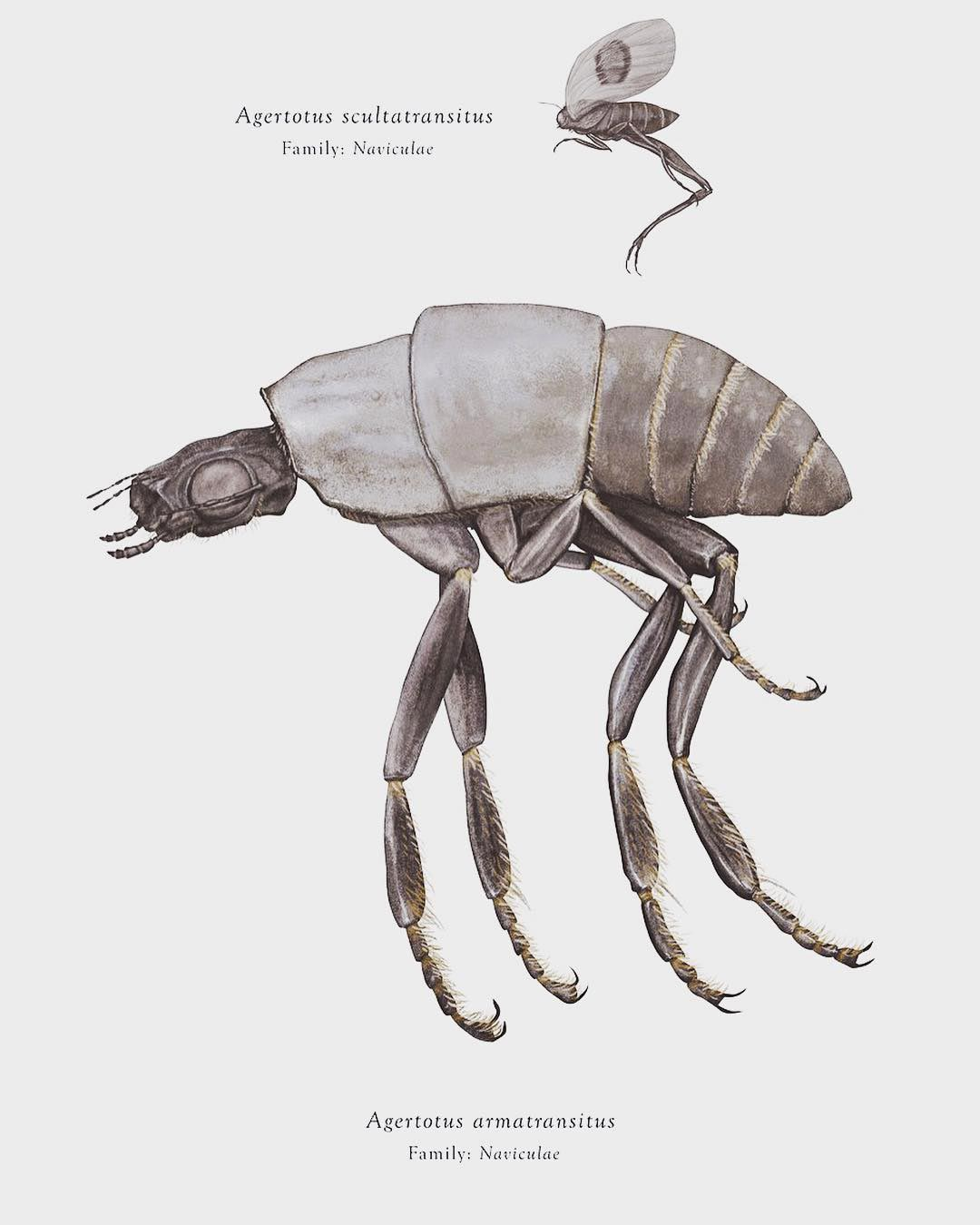 Agertotus armatransitus e Agertotus scultatransitus, Arthropoda Iconicus