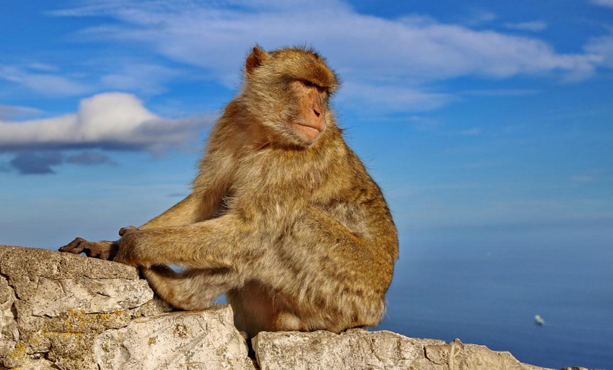 Una bertuccia di Gibilterra
