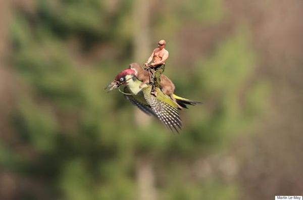 La foto di una donnola che attacca un picchio in volo cavalcati da Putin