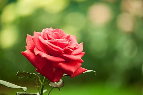 Una rosa a Euroflora 2011
