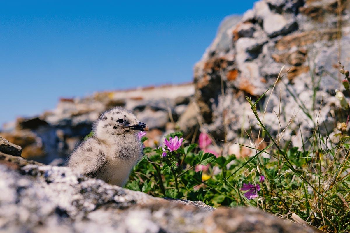 Un pulcino di gabbiano sulla Fortezza del Priamar