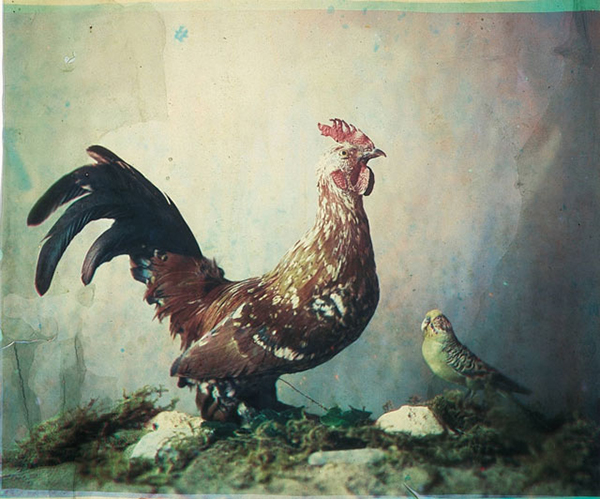 Una fotografia a colori di un gallo
