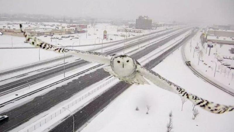 Un gufo delle nevi ripreso da una telecamera autostradale