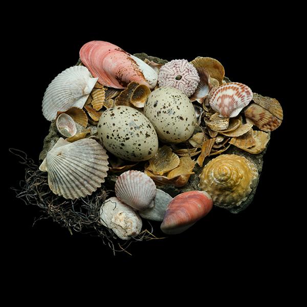 Un nido di conchiglie