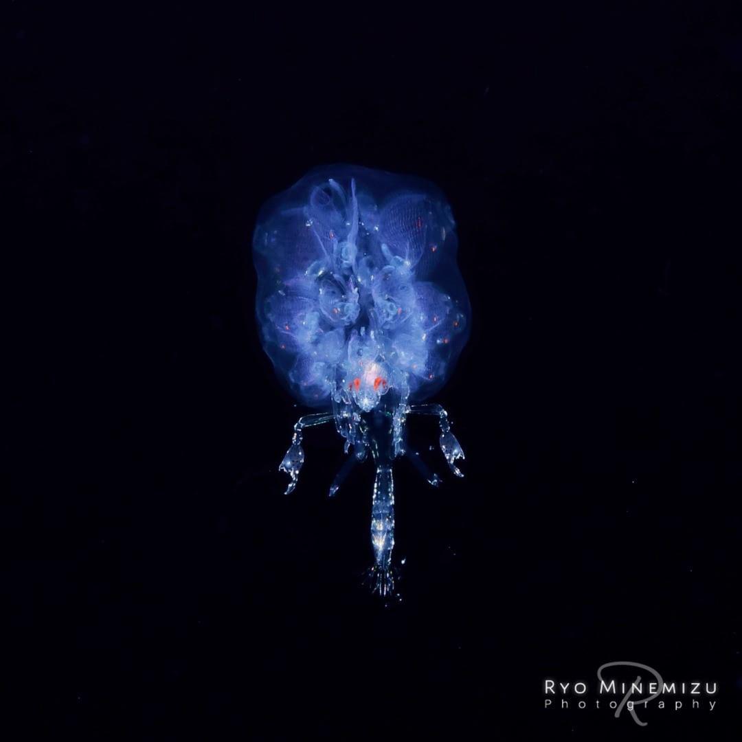 Plancton fotografato da Ryo Minemizu