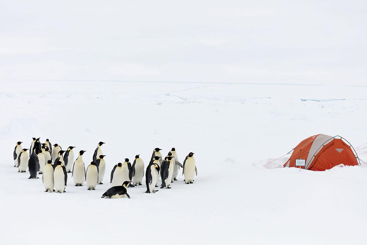 Una colonia di pinguino imperatore in Antartide