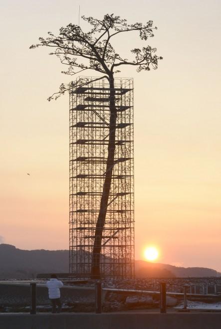 Il pino di Rikuzentakata