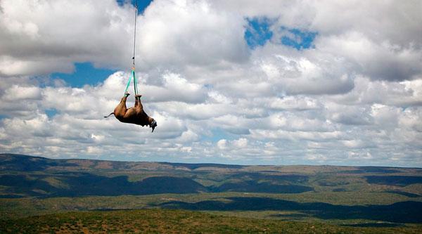 Un rinoceronte in volo sul Sud Africa.