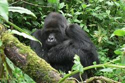 Il gorilla Titus